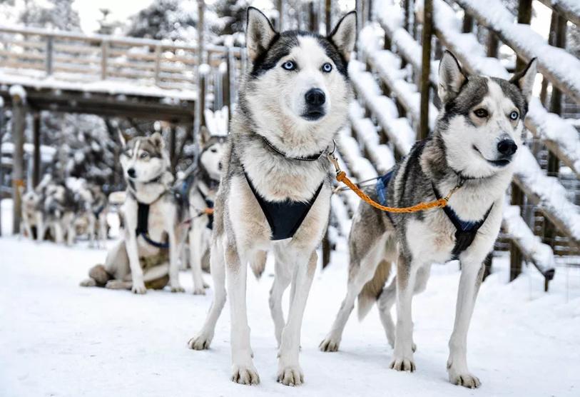 Husky dogs pulling slay